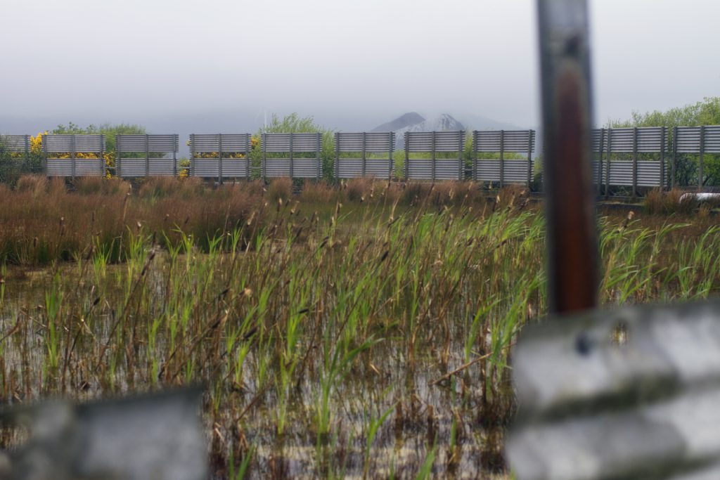 Bullrushes growing in a tank